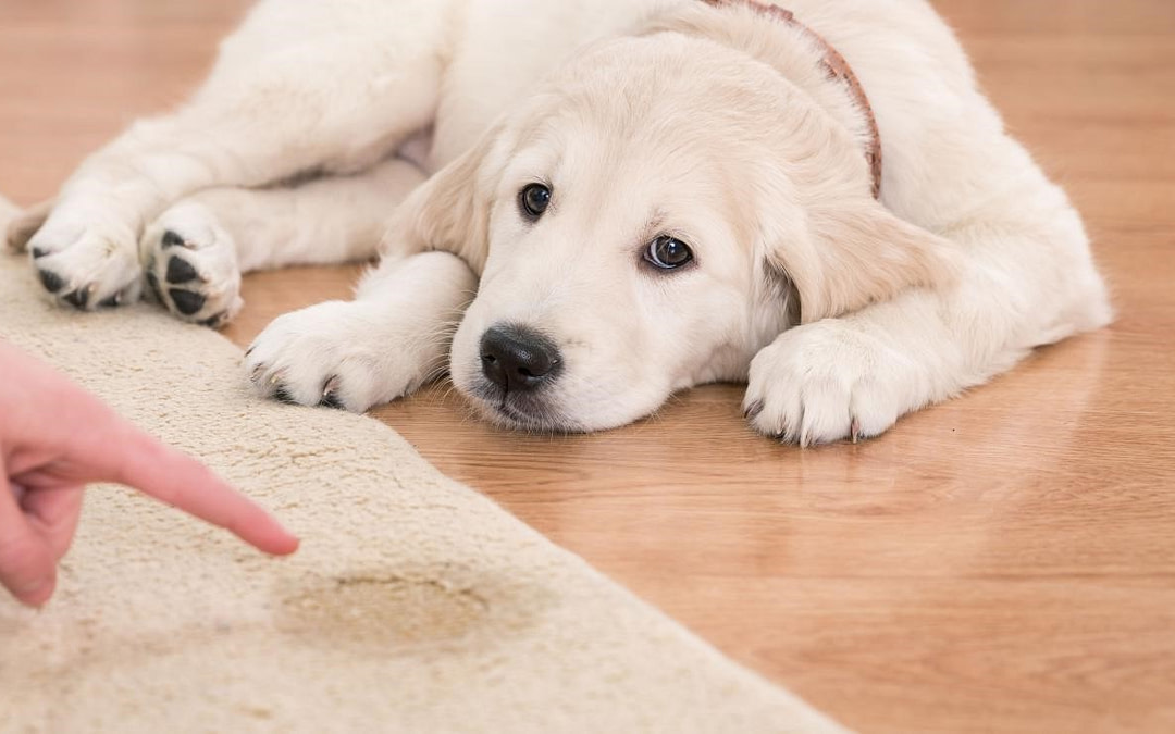 10 Tips for Clean-up Pet Stains from Cloth and Carpet